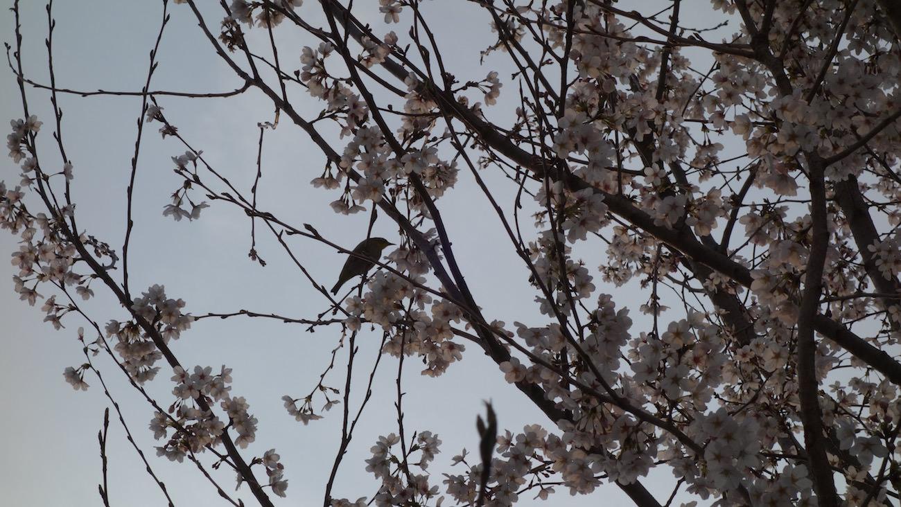 A bird and sakura in Yokohama