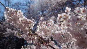 Cherry blossoms at Shinjuku Gyoen in 2017