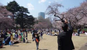 Shinjuku Gyoen during cherry blossoms season in 2017