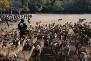 Japan's wild deer
