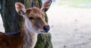 Wild deer of Nara
