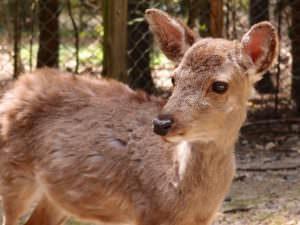 Cute wild deer in Japan