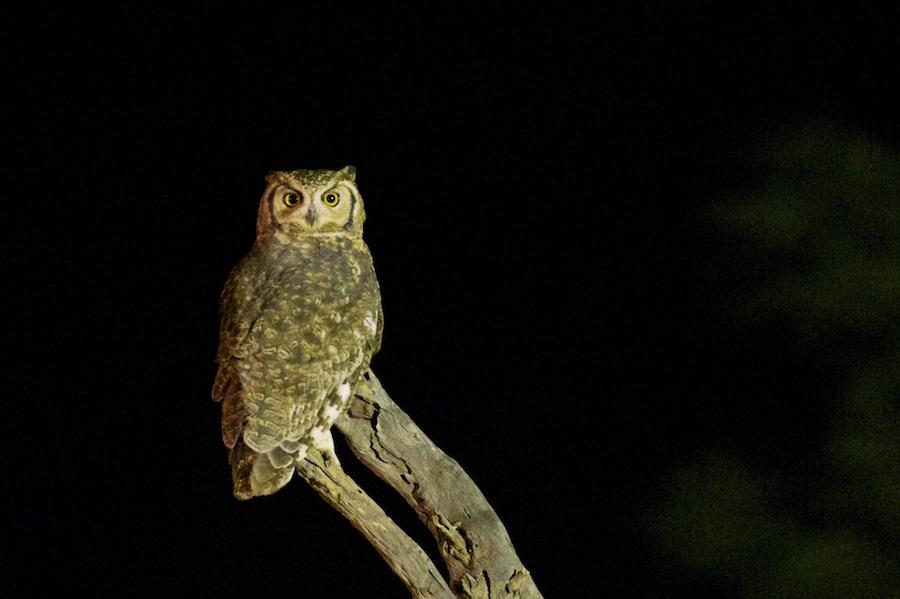 夜のサファリーでフクロウも見れるかも